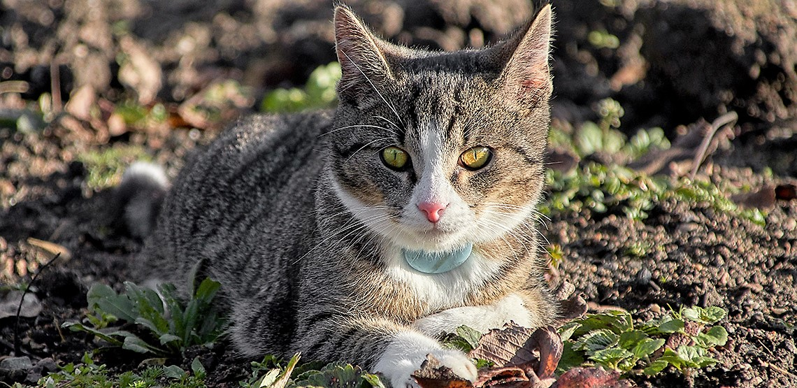 pet gps tracker on a cats collar